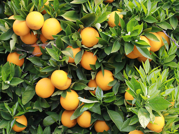 Fresh Oranges on an orange tree
